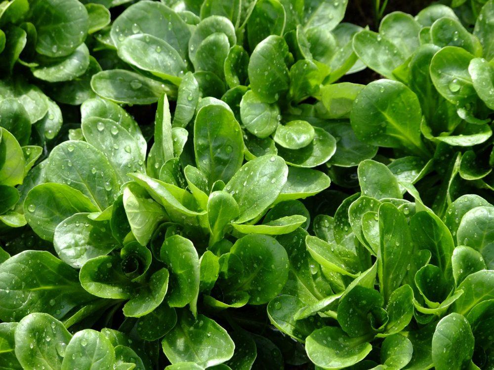 galambbegy saláta