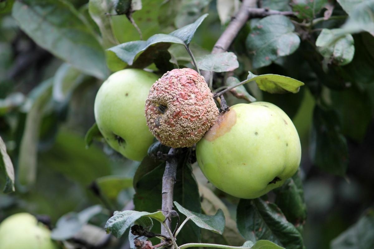monília gomba almán